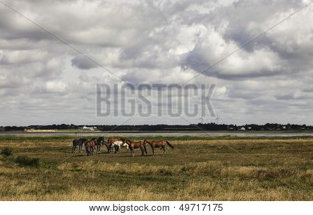 Horses On A Green Meadow At The Wadden Sea, Denmark