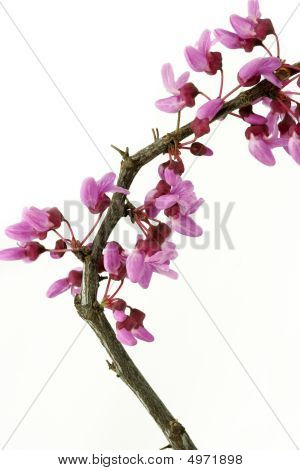 Twig With Pink Blossoms On White