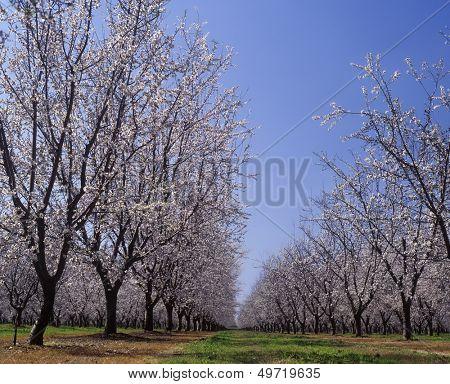 Almond Orchard in blossom LeGrand Merced County California