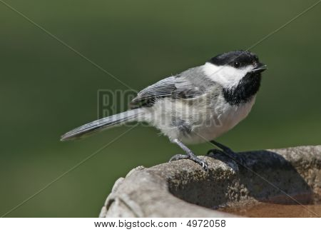 Black Capped Chickadee Close Up