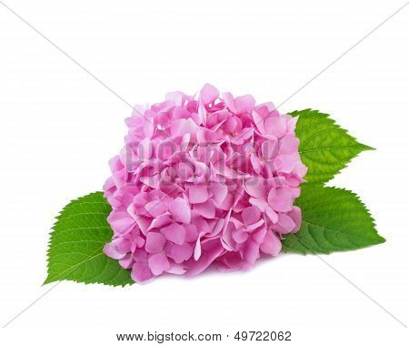 Hydrangea flowers isolated on white