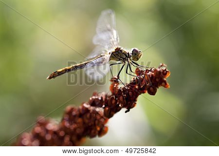Common Darter - Sympetrum vulgatum
