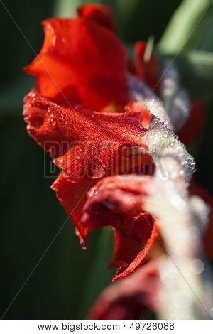 Gladiolus - water drops - macro