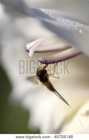 Gladiola - hover fly