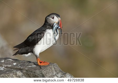 Atlantic Puffin on rock with fish in beak Runde island Norway