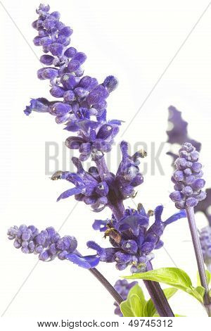 Purple salvia nemorosa plant