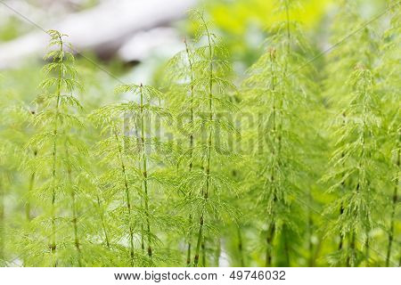 Wood horsetail (Equisetum sylvaticum)