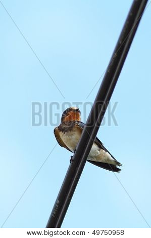 Barn Swallow Standing On An Electric Cable