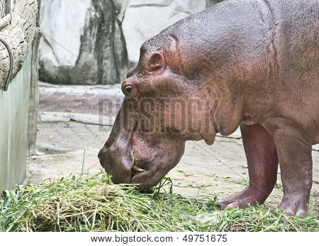 Hippo Grazes In The Zoo