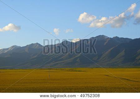 Golden Canola Flower Fields