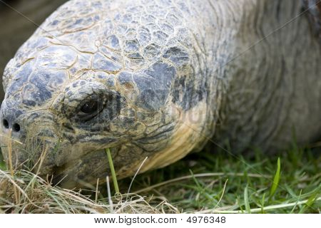 Close Up Of Giant Galapagos Turtle