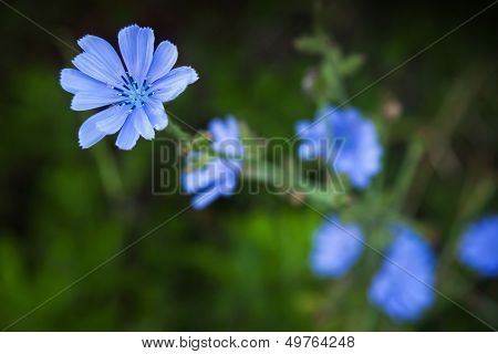 Wild Chicory Flowers Macro Photo