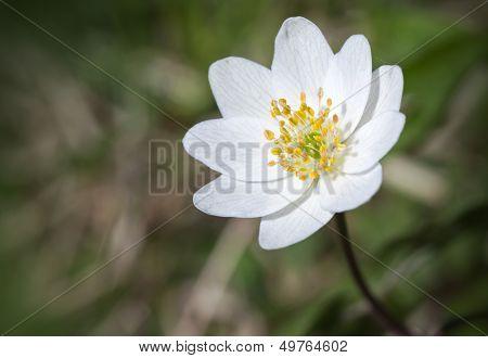 Single White Flower Closeup Photo