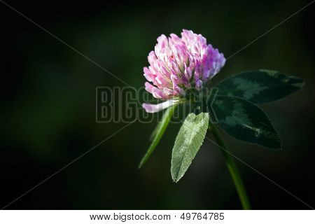 Single Red Flower Clover On Dark Background