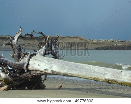 Tree With Roots On Beach