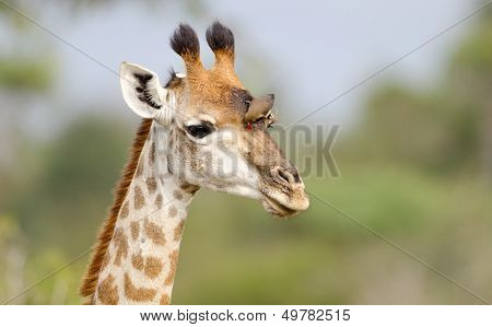 Giraffe, Kruger National Park, South Africa