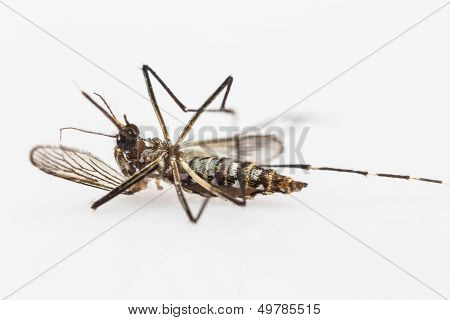 Carcass Of Yellow Fever Mosquito