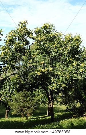 Young Leafy Chestnut Tree In A Farm