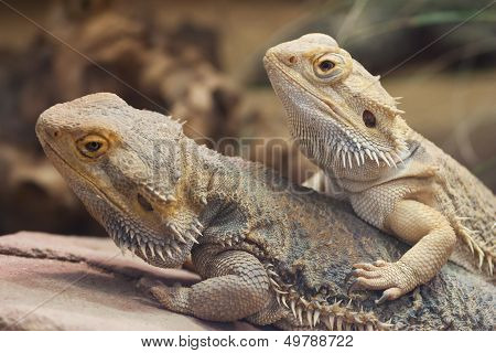 Two Inland Bearded Dragons