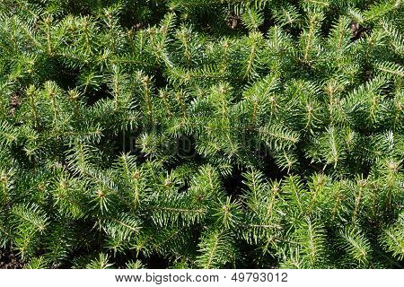 Christmas Pine Fir Tree Branches