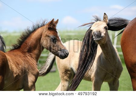 Two Adorable Welsh Pony Foals In Summer