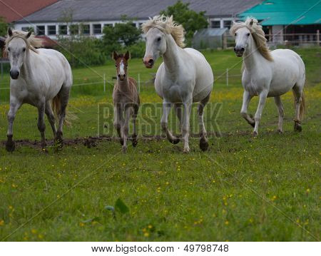 Camargue horses with foal