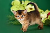 Cute Somali Kitten On The Green Background