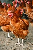 pic of hen house  - Traditional free range poultry farming - JPG