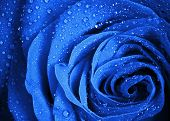 image of rosa  - Blue rose flower with water droplets. Stylized close-up photo with shallow depth of field