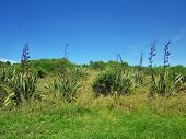 foto of flax plant  - Flax plants growing in front of a bush vegetation landscape on Motuihe Island near Auckland - JPG