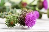 picture of scottish thistle  - Thistle flowers on nature background - JPG