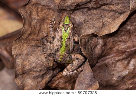 Camouflaged Cricket Frog