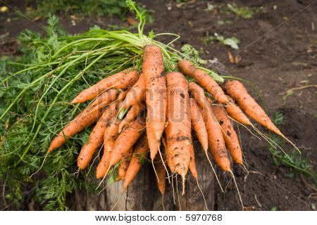 Fresh Dug Carrots