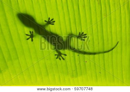 Silhouette Of Tokay Gecko On A Palm Tree Leaf, Ang Thong National Marine Park, Thailand