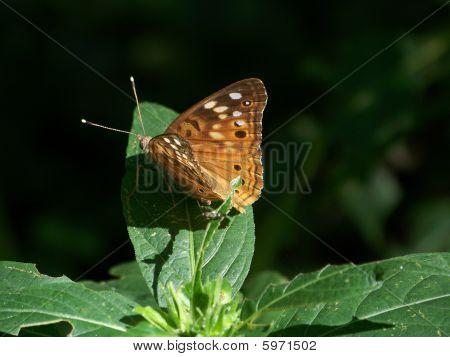 Hackberry emperador mariposa (asterocampa Celtis)