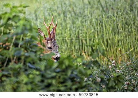 Buck deer in hiding