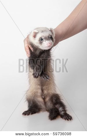 Domestic Polecat