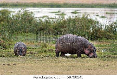 Hippopotamuses  Grazing On The Edge Of Swamp