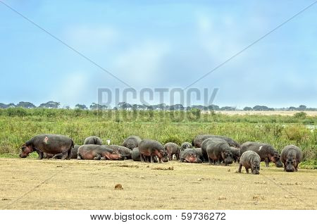 Hippopotamuses Bask  On The Sun In Front Of Swamp