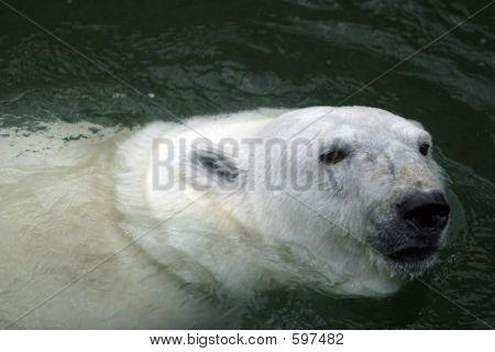 Bear White - 2