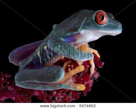 Alert Tree Frog