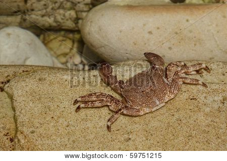 crabs on the rocks or sand Cantabria .Spain,Europa,