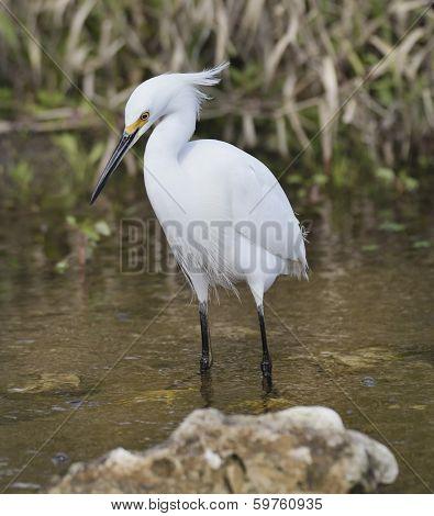 Snowy Egret (Egretta thula) ,Walking In Water