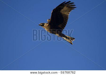 Milvus Migrans, Black Kite In Flight.