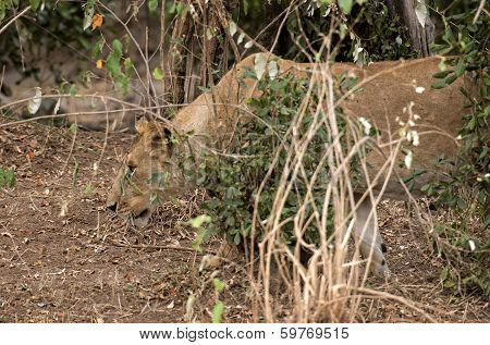Pregnant Lioness Hunting In Bushes