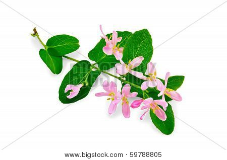 Honeysuckle Twig With Pink Flowers