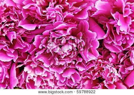 Peony Pink Texture