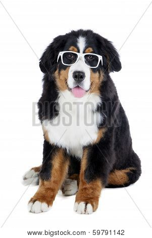 Bernese Mountain Dog In Glasses