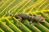 stock photo of tokay gecko  - Young tokay gecko on a palm tree leaf Ang Thong National Marine Park Thailand - JPG