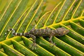 pic of tokay gecko  - Young tokay gecko on a palm tree leaf Ang Thong National Marine Park Thailand - JPG